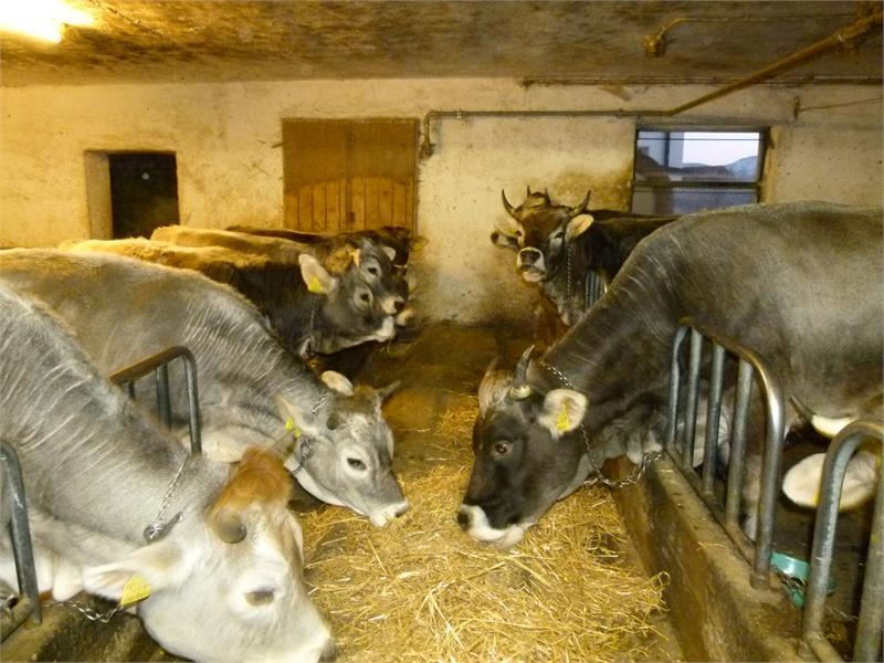 Le nostre vacche