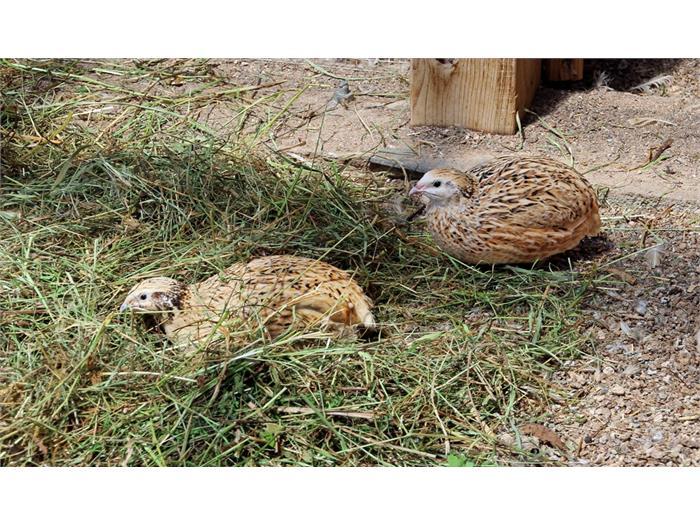 Wachtelhühner