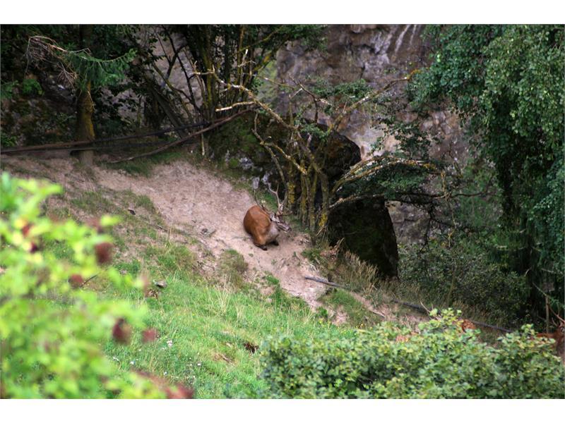 Tumlhof - Agriturismo, nostro cervo