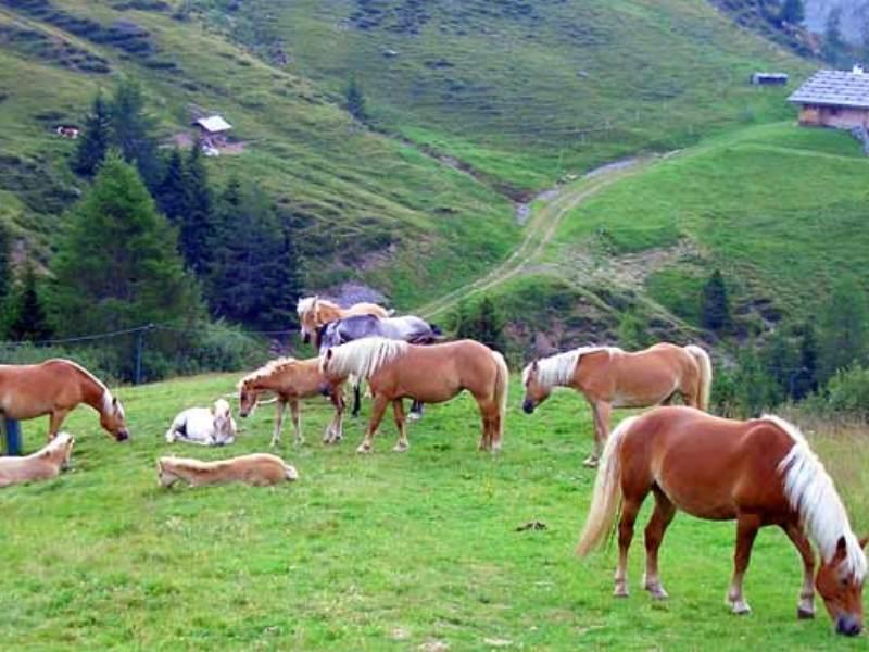 Cavalli pascolando