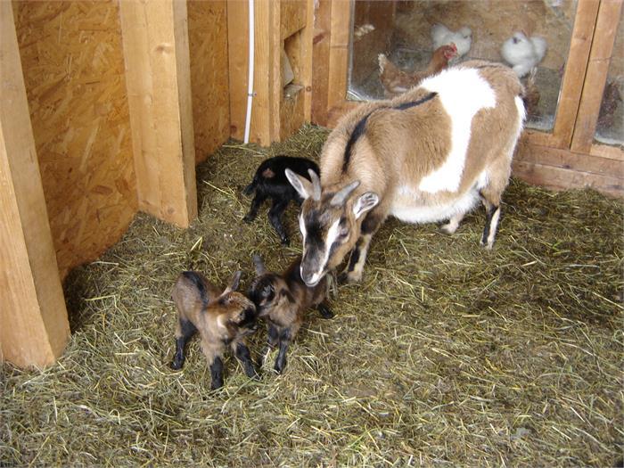 goat-babies