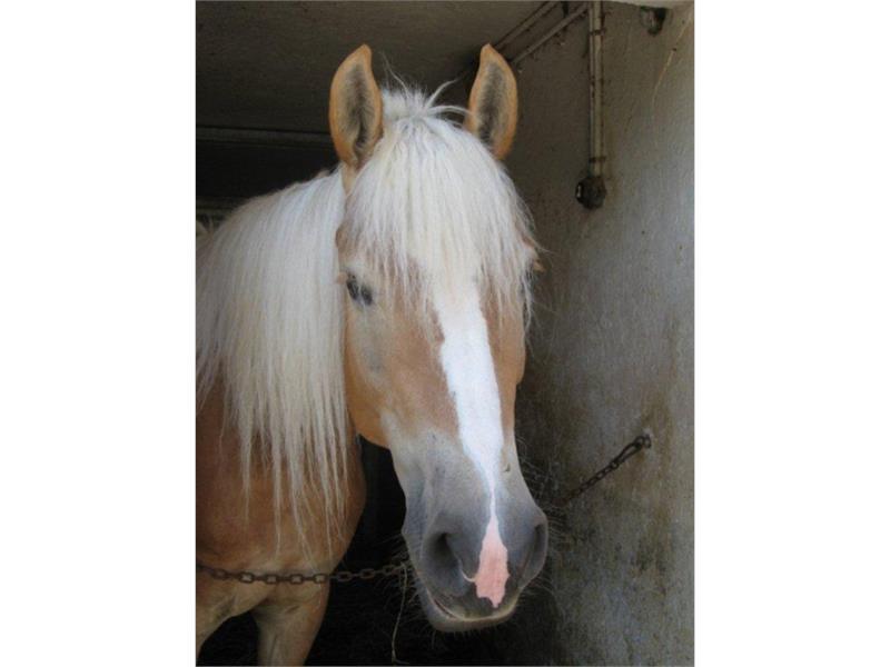 I nostri cavalli avelignesi - Innergruberhof Avelengo