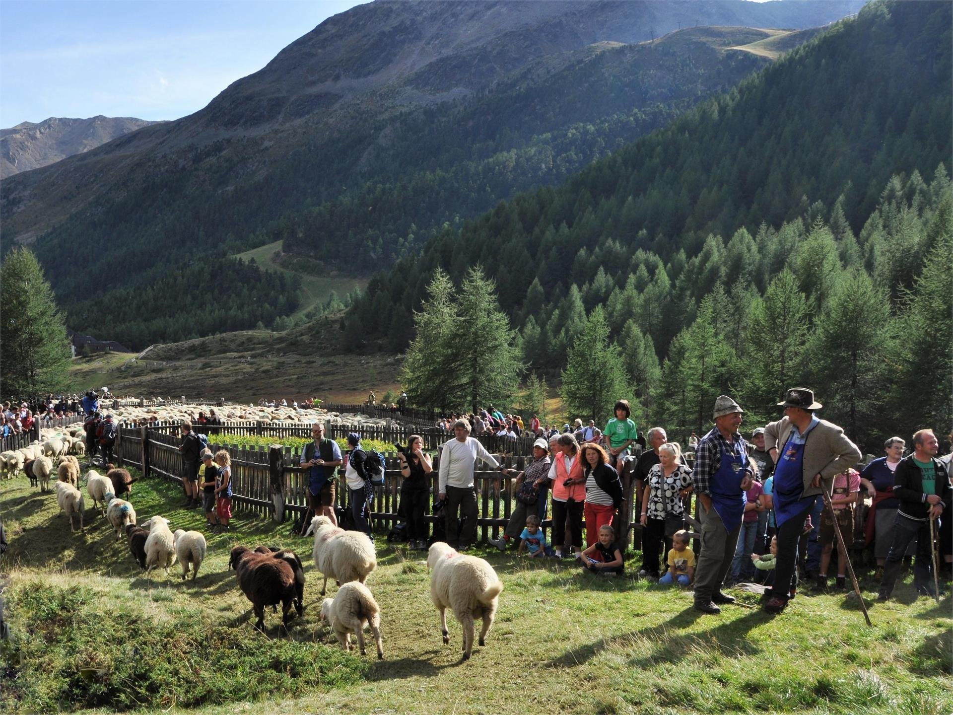 Sheep herding with shepherd festival in Maso Corto/Val Senales