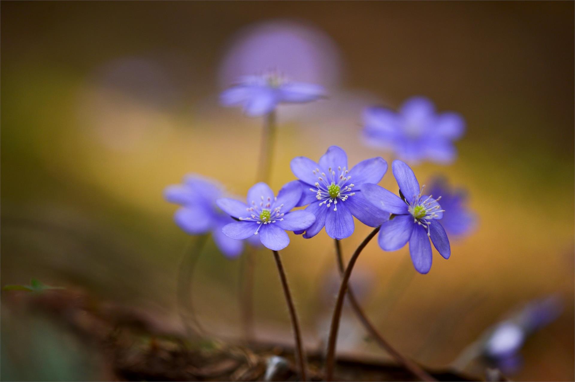 primi fiori in primavera