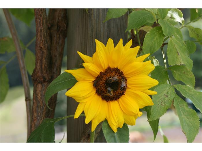 sun flower, Trafunshof- Fié allo Sciliar