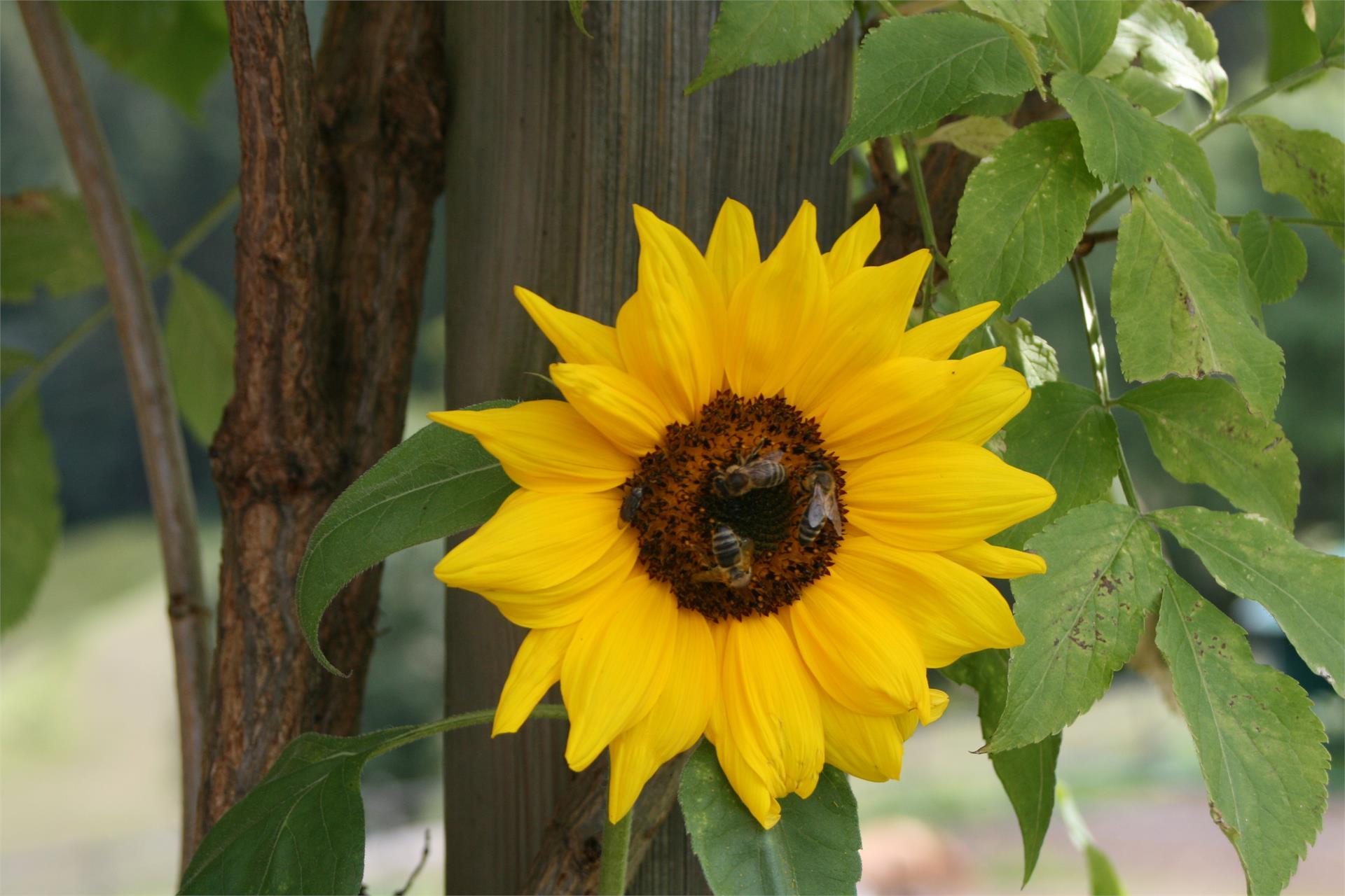 Sonnenblume, Trafunshof- Völs am Schlern
