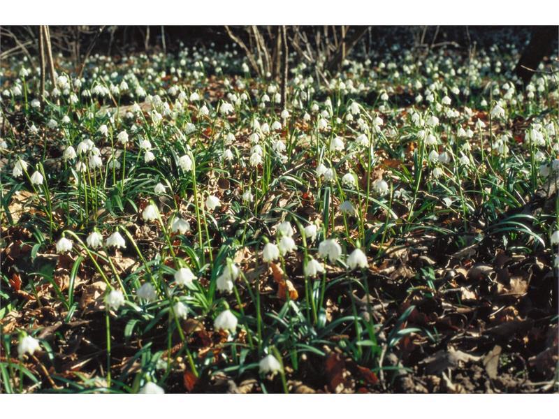 Blumenteppiche aus Maiglöckchen