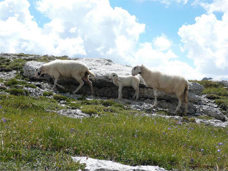 Pecore Antersasc
