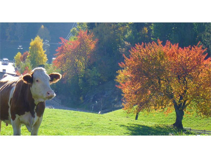 Le nostre mucche - maso Moar am Bichl