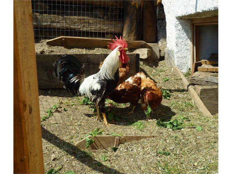 Unsere Hoftiere - Hahn mit Hühner