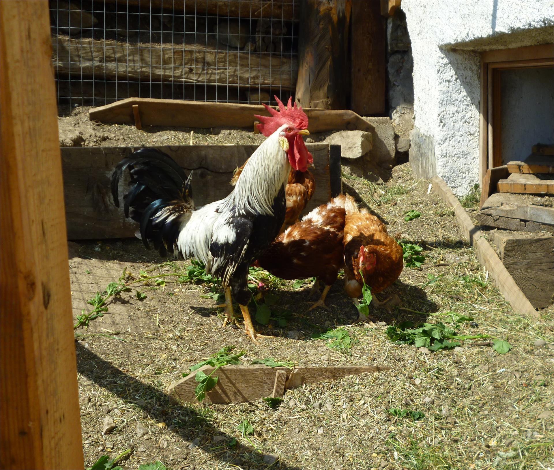 Gallo e gallina