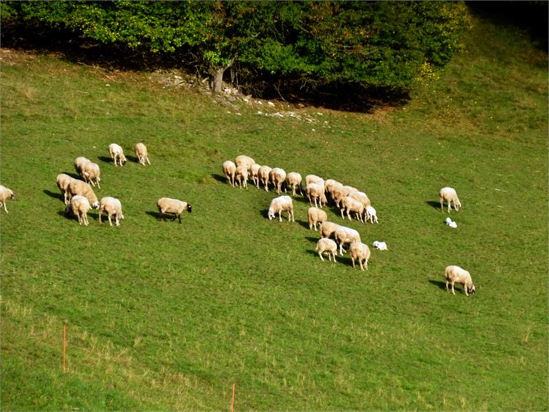 La pecore