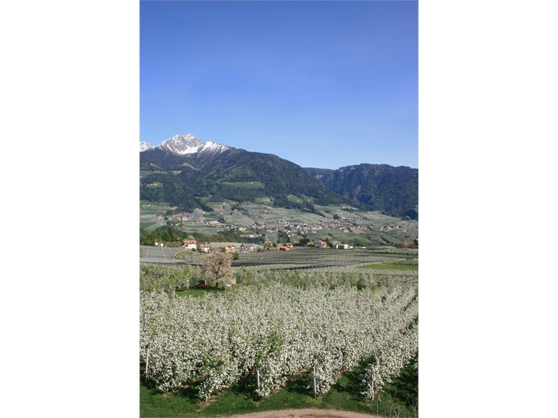 Apfelblüte mit Ifinger im Hintergrund