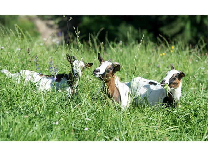 unsere Zwergziegen auf der Hof-Weide