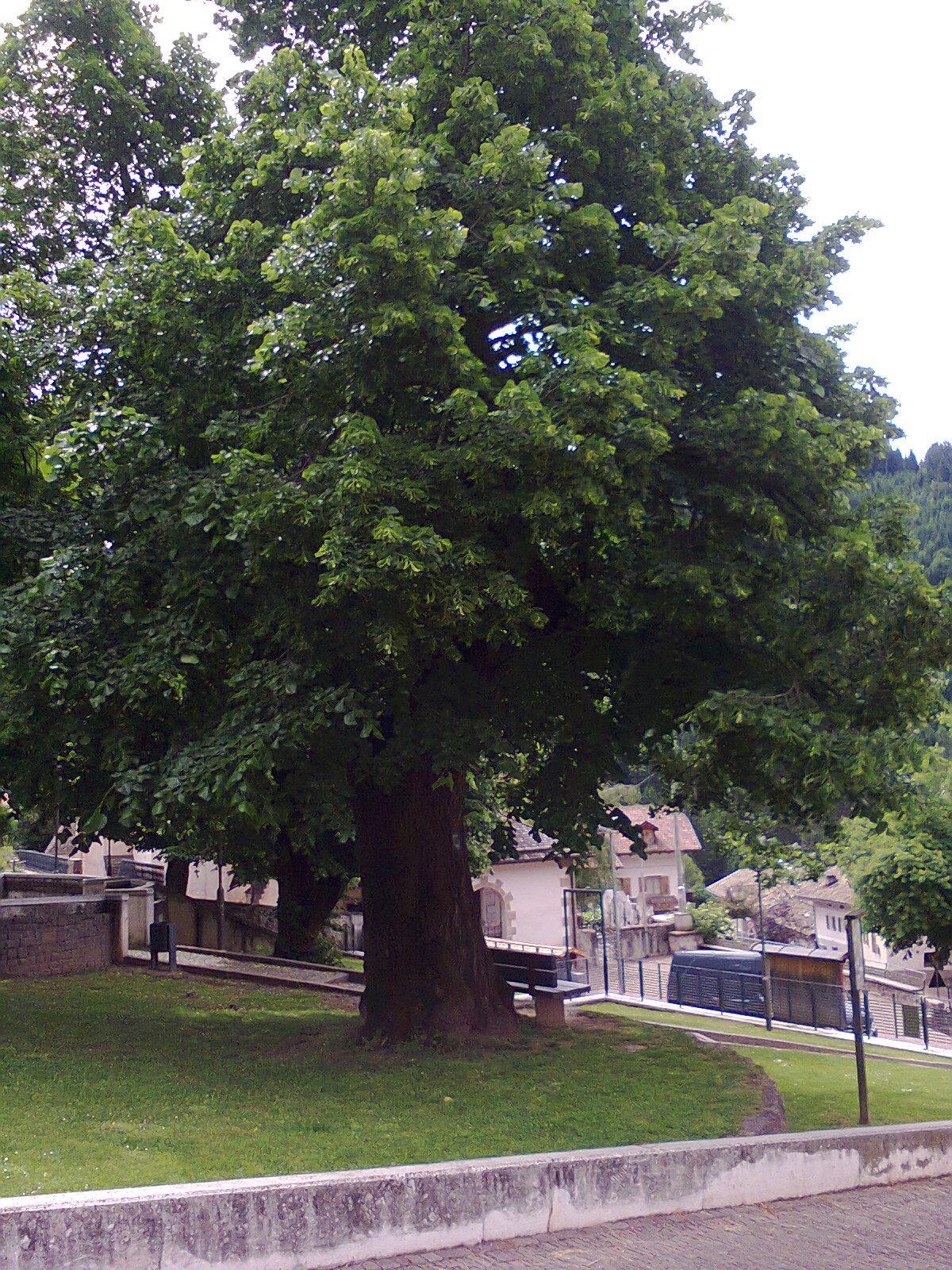 600-jährige Linde in Truden
