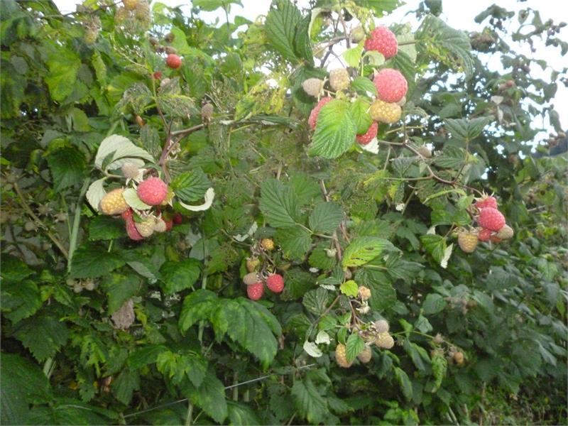 Our raspberries