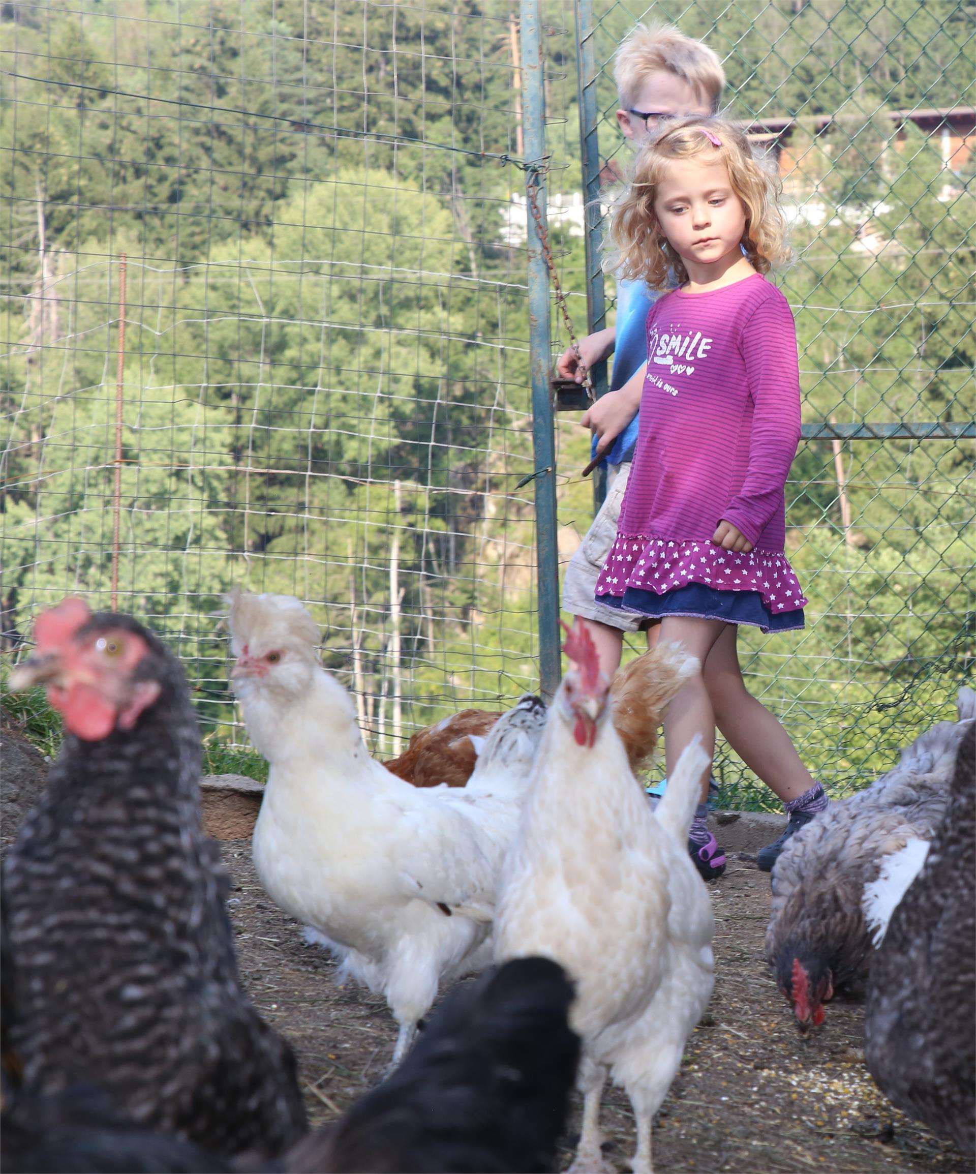 Unsere Hühner- Pardellerhof, Völs am Schlern