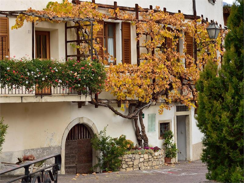 Old grapevine, Margreid on the Wine Road